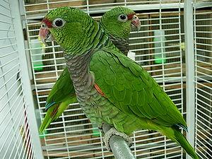 Vinaceous-breasted amazon - Image: Amazona vinacea two captive 8a