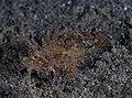 Ambon scorpionfish (Pteroidichthys amboinensis) (32069945430).jpg