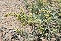 Ambrosia acanthicarpa kz03.jpg