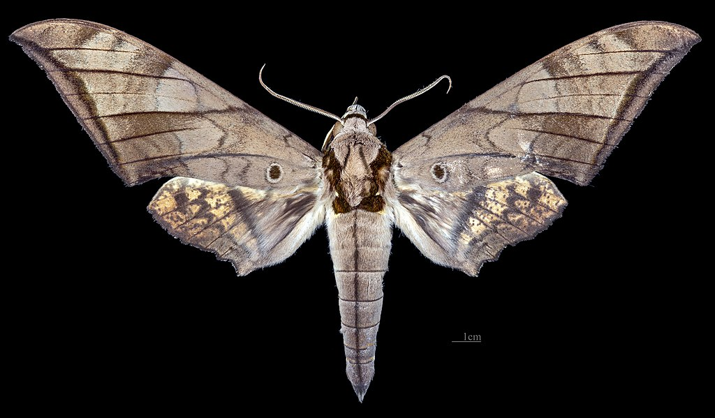 Sưu tập Bộ cánh vẩy 2 - Page 4 1024px-Ambulyx_phalaris_MHNT_CUT_2010_0_320_Wau%2C_Morobe_Dist._New_Guinea_male_dorsal