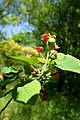 Amelanchier alnifolia kz2.jpg