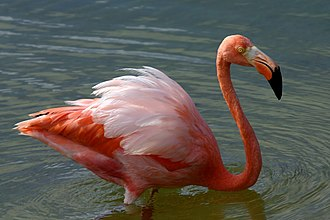 American flamingo - Galapagos Islands