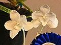 Amesiella monticola -台南國際蘭展 Taiwan International Orchid Show- (26080128597).jpg