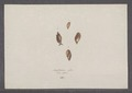 Amphibulina putris - - Print - Iconographia Zoologica - Special Collections University of Amsterdam - UBAINV0274 089 03 0007.tif