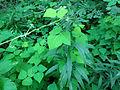 Amphicarpaea bracteata SCA-04703.jpg