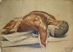 An écorché figure (life-size), lying prone on a table Wellcome L0020561.jpg
