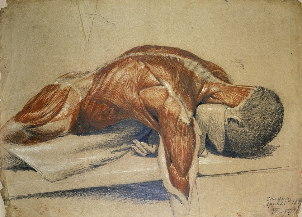 An écorché figure (life-size), lying prone on a table Wellcome L0020561