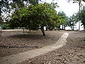 Anacardium occidentale 0011.jpg