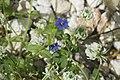 Anagalis caerulea caerulea et Trifolium repens.jpg