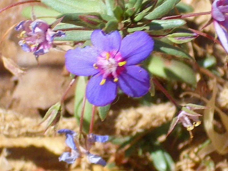 File:Anagallis monelli subsp. linifolia Enfoque 2011-6-23 SierraMadrona.jpg