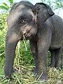 Anak gajah.jpg