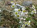Anaphalis margaritacea subsp yedoensis1.jpg