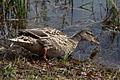 Anas platyrhynchos -Loch Katrine, Scotland -female-8.jpg