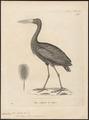 Anastomus lamelligerus - 1700-1880 - Print - Iconographia Zoologica - Special Collections University of Amsterdam - UBA01 IZ17600071.tif