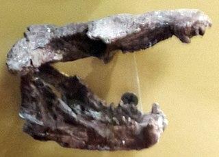 <i>Andescynodon</i> Extinct genus of traversodontid cynodonts