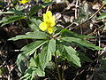 Anemone ranunculoides1.JPG