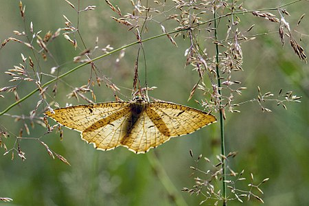 Angerona prunaria01(js), Lodz(Poland).jpg