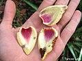 Annona salzmannii, araticum - Flickr - Tarciso Leão (5).jpg
