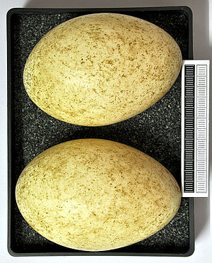Pink-footed goose - Eggs, Collection Museum Wiesbaden