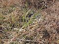 Antennaria dimorpha (3742177415).jpg