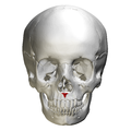Anterior nasal spine of maxilla - skull - anterior view.png