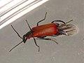 Anthocomus rufus (36535339951).jpg