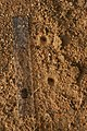 Antlion larva trap 1IMG 6509.jpg