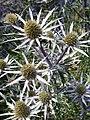 Apiales - Eryngium bourgatii - 4.jpg