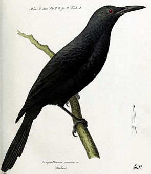 Aplonis corvina.jpg
