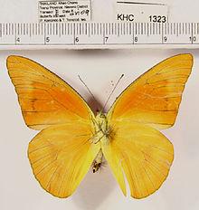 Альбом пользователя ЕкатеринаКостинская: Бабочка Аппиас неро. Коллекция 36 бабочек-малявок