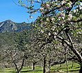 Apple Blossom Time, Oak Glen, CA 3-16 (25636621330).jpg