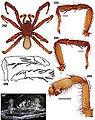 Aptostichus elisabethae anatomy.jpg
