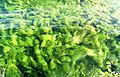 Aquatic plant in the Tegernsee.JPG