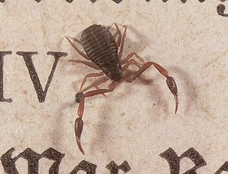 Pseudoscorpion - A book scorpion (Chelifer cancroides) on top of an open book