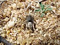 Araña lobo ♂ Arctosa perita (7014305543).jpg