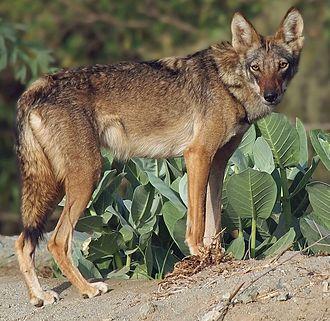 Arabian wolf - Image: Arabian wolf in Jordan