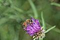 Araignées, insectes et fleurs de la forêt de Moulière (Les Agobis) (28913524002).jpg