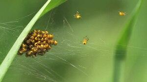 File:Araneus diadematus juveniles.ogv