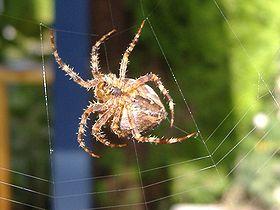 A garden spider spinning its web.