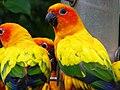 Aratinga solstitialis -Jurong Bird Park-8c.jpg