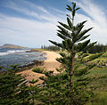 Araucaria heterophylla Kingston 6.jpg