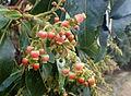 Arbutus canariensis kz7.JPG