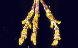 Arceuthobium campylopodum.jpg