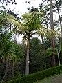 Archontophoenix cunninghamiana.jpg