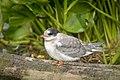 Arctic Tern (juvenile) (28601739227).jpg