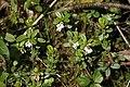 Arctostaphylos uva-ursi - img 25747.jpg