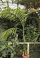 Areca catechu, Fata Morgana Greenhouse.jpg