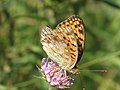 Argynnis adippe - High brown fritillary - Перламутровка красная (40247204075).jpg