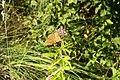 Argynnis paphia an Wasserdost 9684.jpg