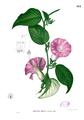 Argyreia sp Blanco2.412.png